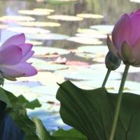 Parco loto fiori